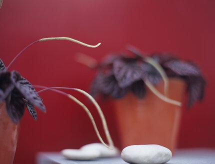 Peperomia caperata - HOEF00146