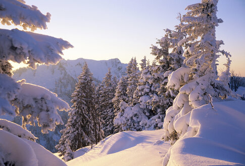 Germany, Bavaria, Spitzing, snowy trees - FFF00686