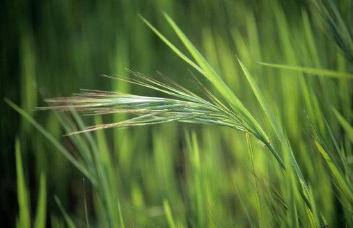 Grass,Apulia, Italy - MOF00111