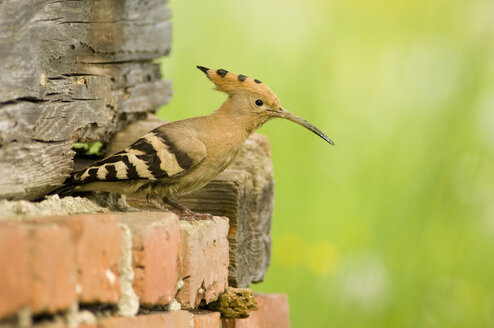 Hoopoe sitting on wall - EKF00725