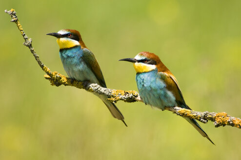 Bee-eaters sitting on twig - EKF00722