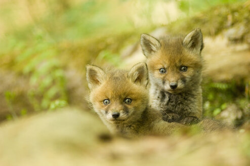 Red fox whelps in forest - EKF00713