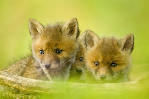 Three red fox whelps in forest - EKF00710