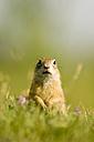 European ground squirrel, close-up - EKF00674