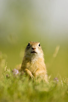 European ground squirrel, close-up - EKF00674