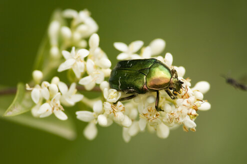 Rose chafer sitting on flower, close-up - EKF00665