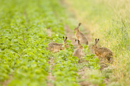 Four hares playing in field - EKF00656