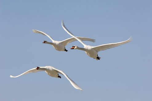 Flying mute swans - EKF00635