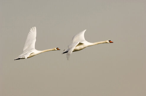 Pair of mute swan flying - EKF00620