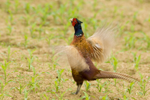 Pheasant in field - EKF00614