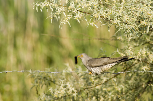 Cuckoo sitting on barbed wire, eating caterpillar - EK00740