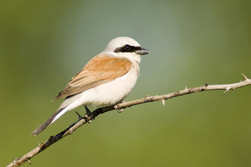 Male red-bcked shrike, Lanius collurio, sitting on branch - EK00737