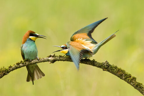Bee-eaters on branch - EK00731