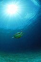 Philippines, green sea turtle - GNF00754