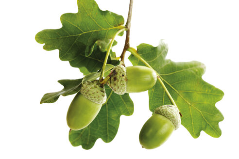 Acorns and oak leaves - 04795CS-U