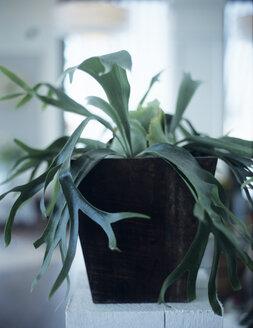 Platycerium bifurcatum in flowerpot - HOEF00233