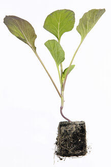 Cabbage seedling - THF00312