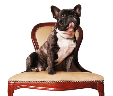 French bulldog sitting on chair - 00139LR-U