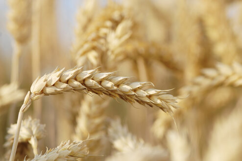 Wheat, close-up - CRF00980