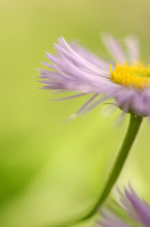 Aster, close-up - SMF00025