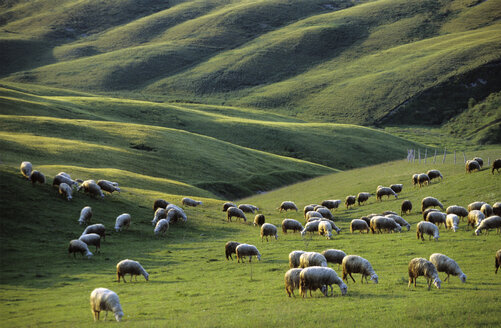 Italy, Tuscany, near Asciano, sheep in meadow - HSF00989