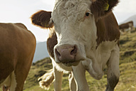 Cows in mountains, close-up - BABF00203