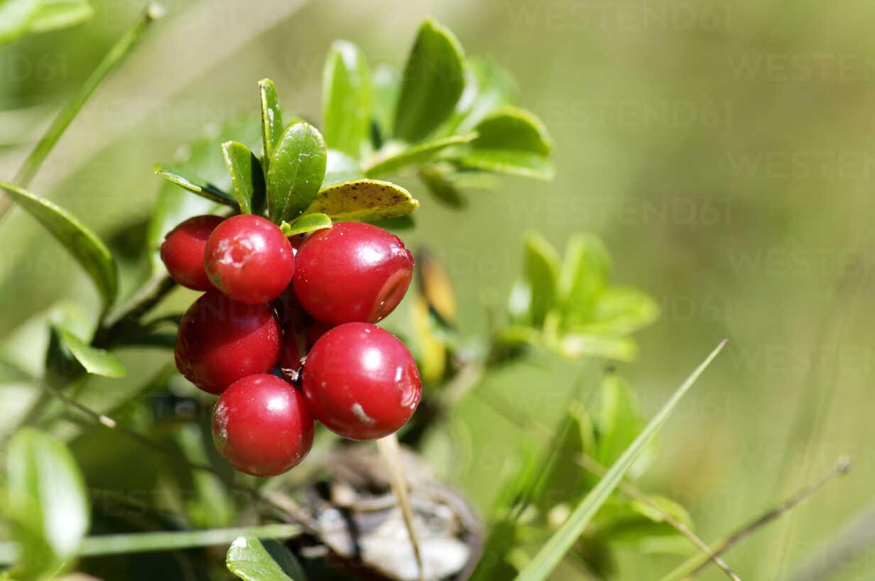 Cowberries, Vaccinium vitis idaea, close up – Stockphoto