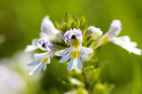 Common eyebright, Euphrasia rostkoviana, close-up - HHF00828