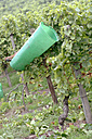 Back-basket in vinyard - WESTF03824