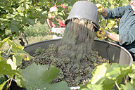 Wine harvest in vineyard - WESTF03812