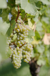 White grapes, close-up - WESTF03755