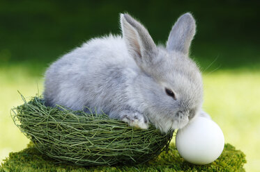 Rabbit sitting in nest, close-up - ASF02975