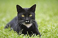 Black cat in meadow - FOF00092