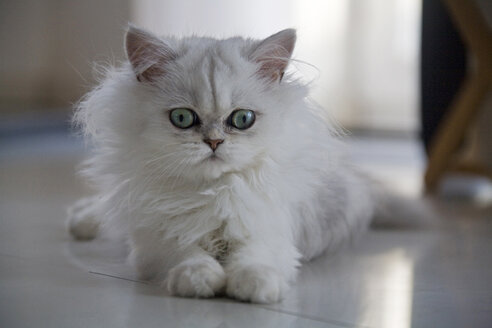 White Persian cat - FOF00086