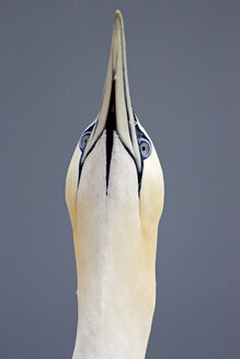 Germany, Helgoland, northern gannet, close-up - FOF00065