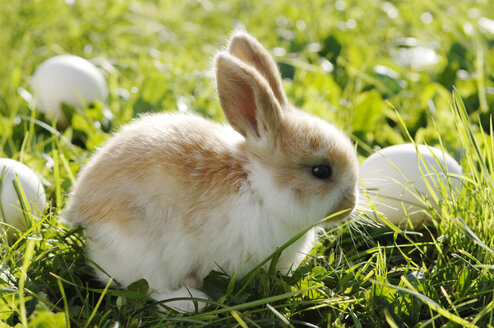 Rabbit sitting in meadow, close-up - CRF01081