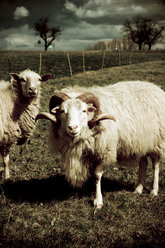 Sheeps in meadow - DW00049