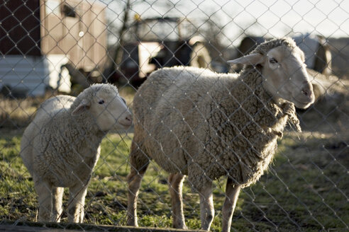 Sheep and cub, close-up - DW00041