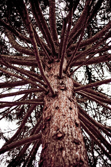 Conifer tree, low angle view - DW00035