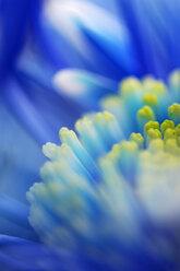 Chrysanthemum, close-up - SMF00030
