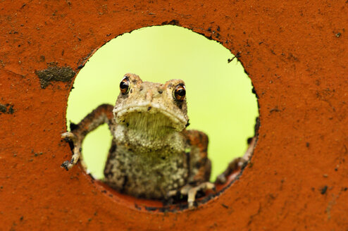 Common toad, close-up - SMF00027