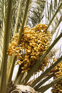 Spain, Lanzarote, date palm, close-up - ABF00143