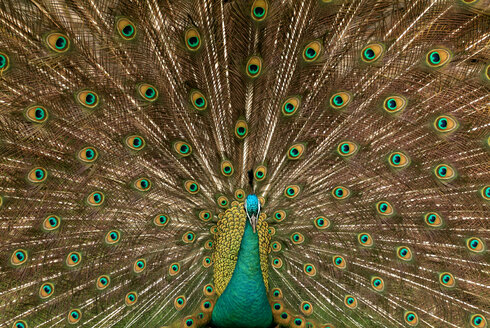 Peacock with fanned tail feathers, close-up - TCF00045