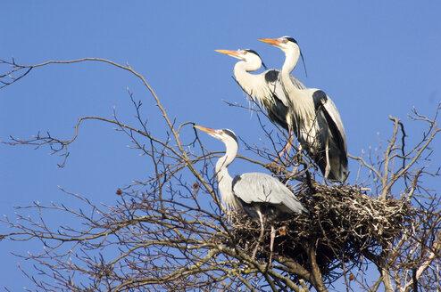 Grey herons in nest - EKF00842