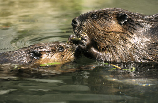 Beaver with pup, animal portrait - GNF00859
