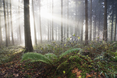 Germany, Berlingen, Fern in misty forest - SHF00167