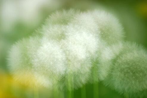 Dandelion, close-up - SMF00098