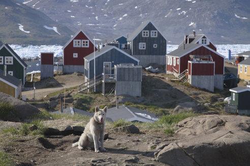 Greenland, Tasiilaq, Sled dog - RM00148