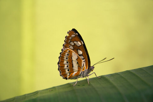 Common Sergeant, (Athyma perius), close-up - TLF00093