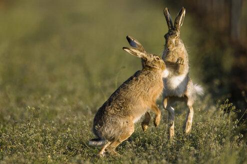 Hares in field - EKF00861
